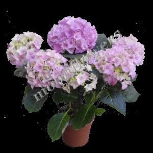 Купить цветы в горшках в одессе недорого где можно заказать каталог цветов георгины, гладиолусы и другие