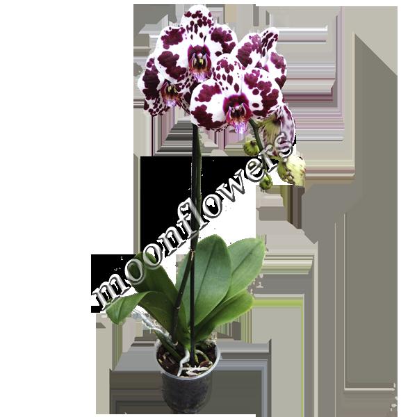 Орхидея тигровая купить
