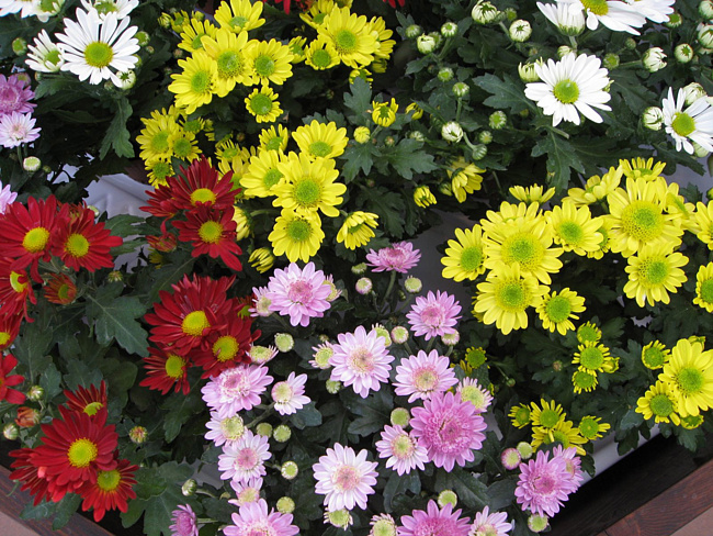 Хризантема язык цветов